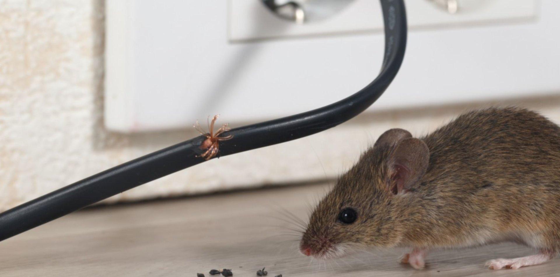 Grave denuncia por invasión de ratas en un hospital de la región