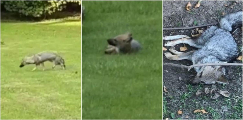 VIDEO: Filmaron a varios zorros agonizando y creen que los envenenan en un country