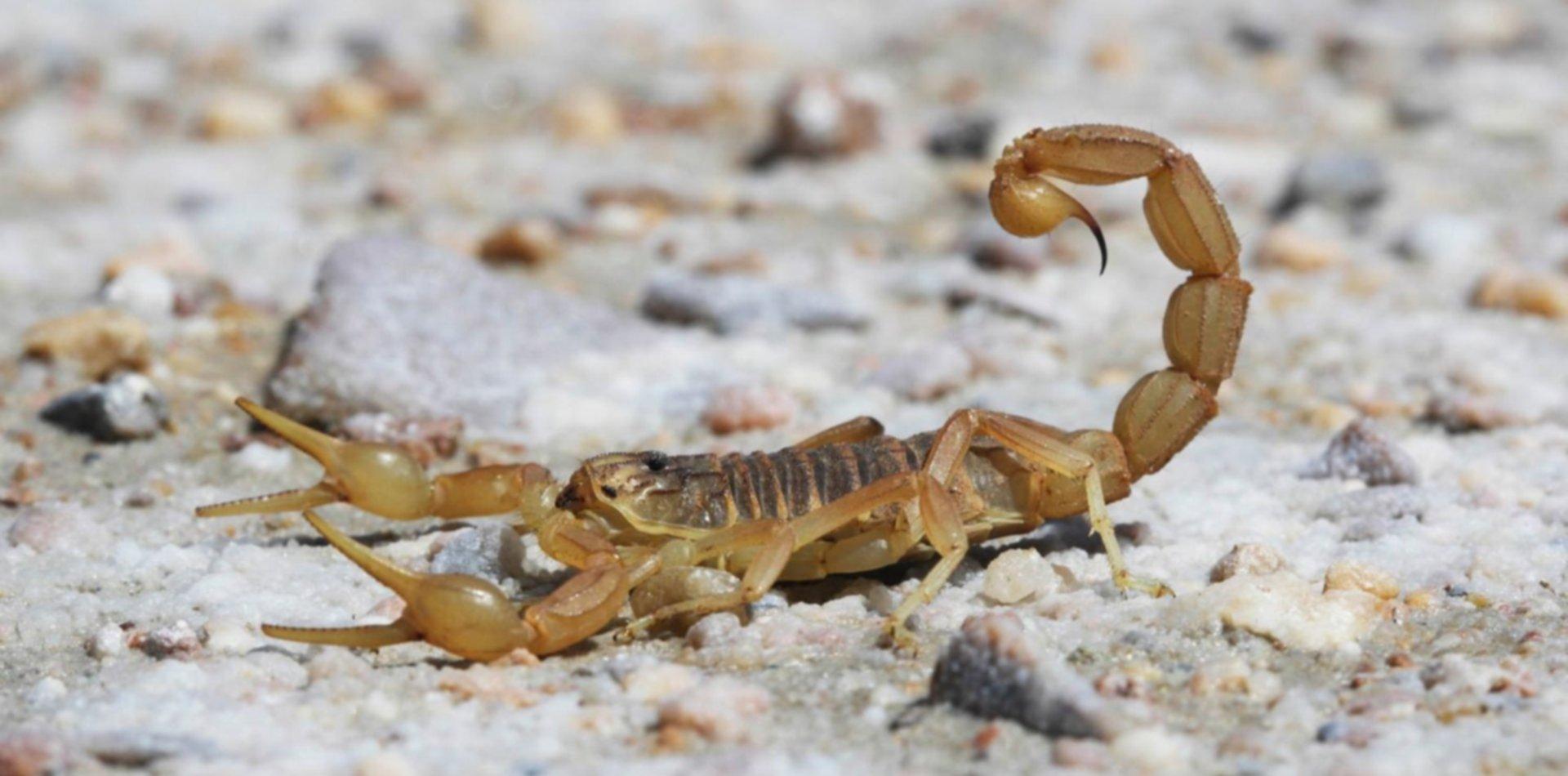 ¿Cómo son los cinco escorpiones peligrosos que aparecieron en La Plata?