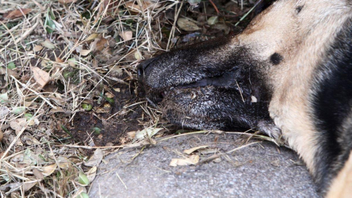 Envenenaron a dos perros en un intento de robo en una casa de La Plata