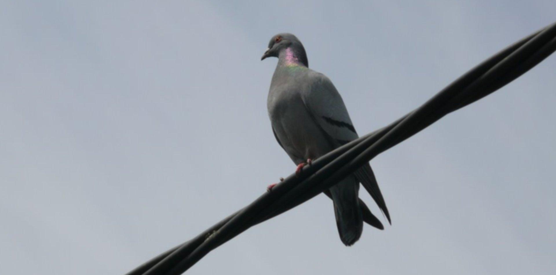 Por culpa de una paloma, los vecinos de La Loma se quedaron sin luz