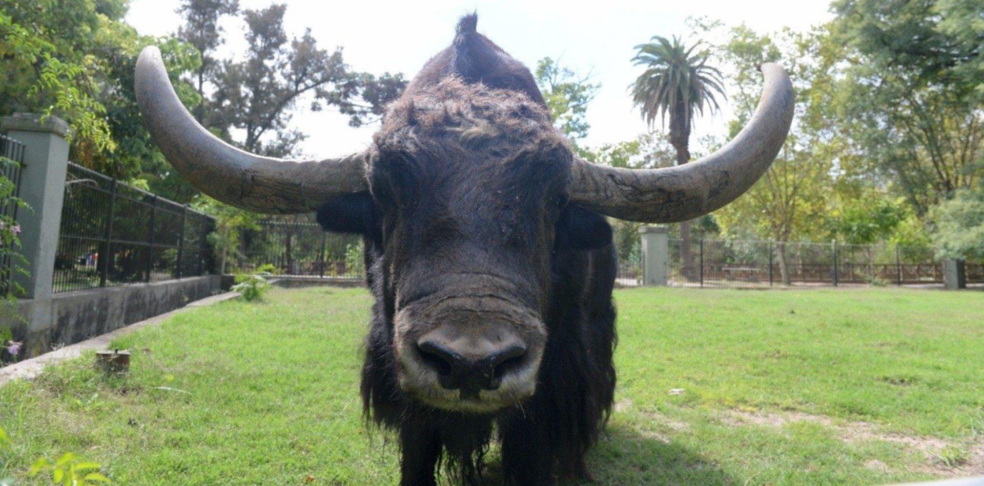 Chicho, el yak de La Plata se va del zoo luego de 13 años y será enviado a un santuario