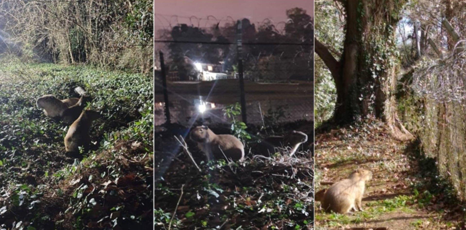 La Justicia podría obligar a terminar con el desalojo de carpinchos en el country Abril