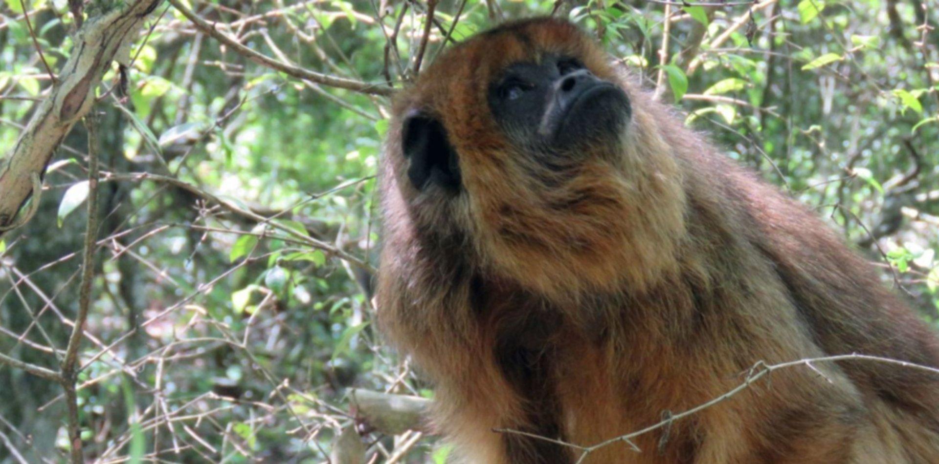 ¿De dónde son y por qué aparecieron los monos en los árboles de Villa Elisa?