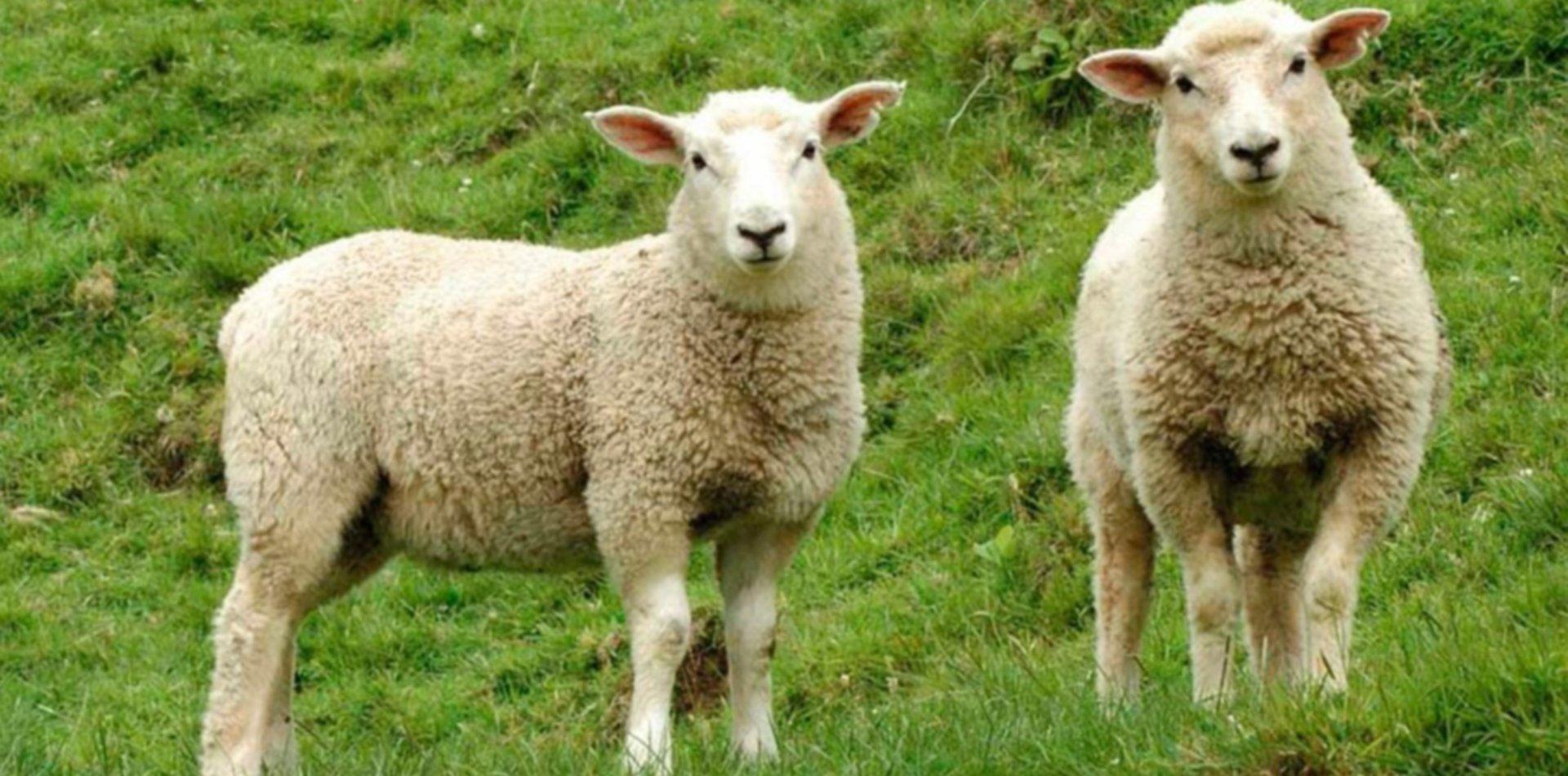 Un joven robó dos ovejas, carneó una y terminó preso en La Plata