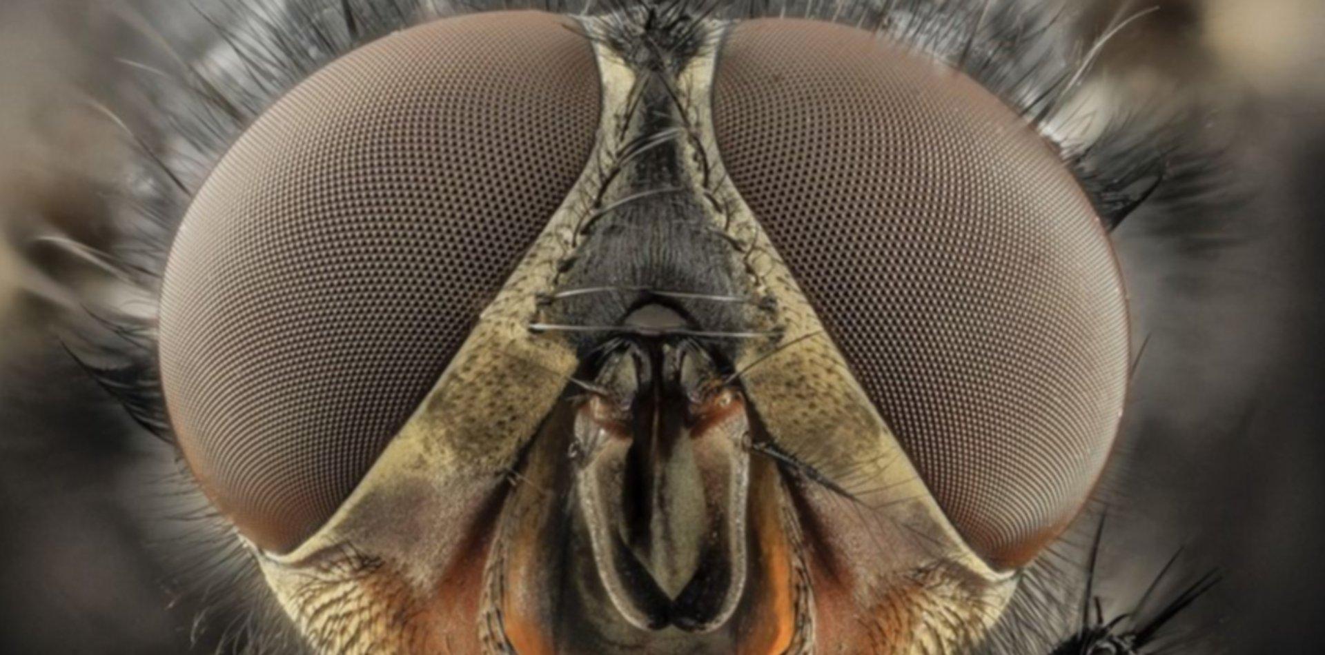 Científicos platenses estudiaron con una mosca los efectos del cannabis en el corazón