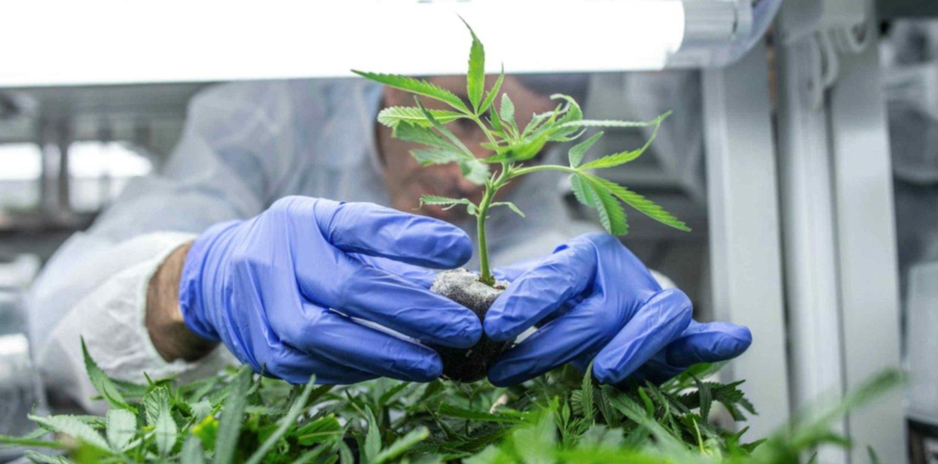 El Gobierno autorizó el cultivo de cannabis para uso medicinal | 0221