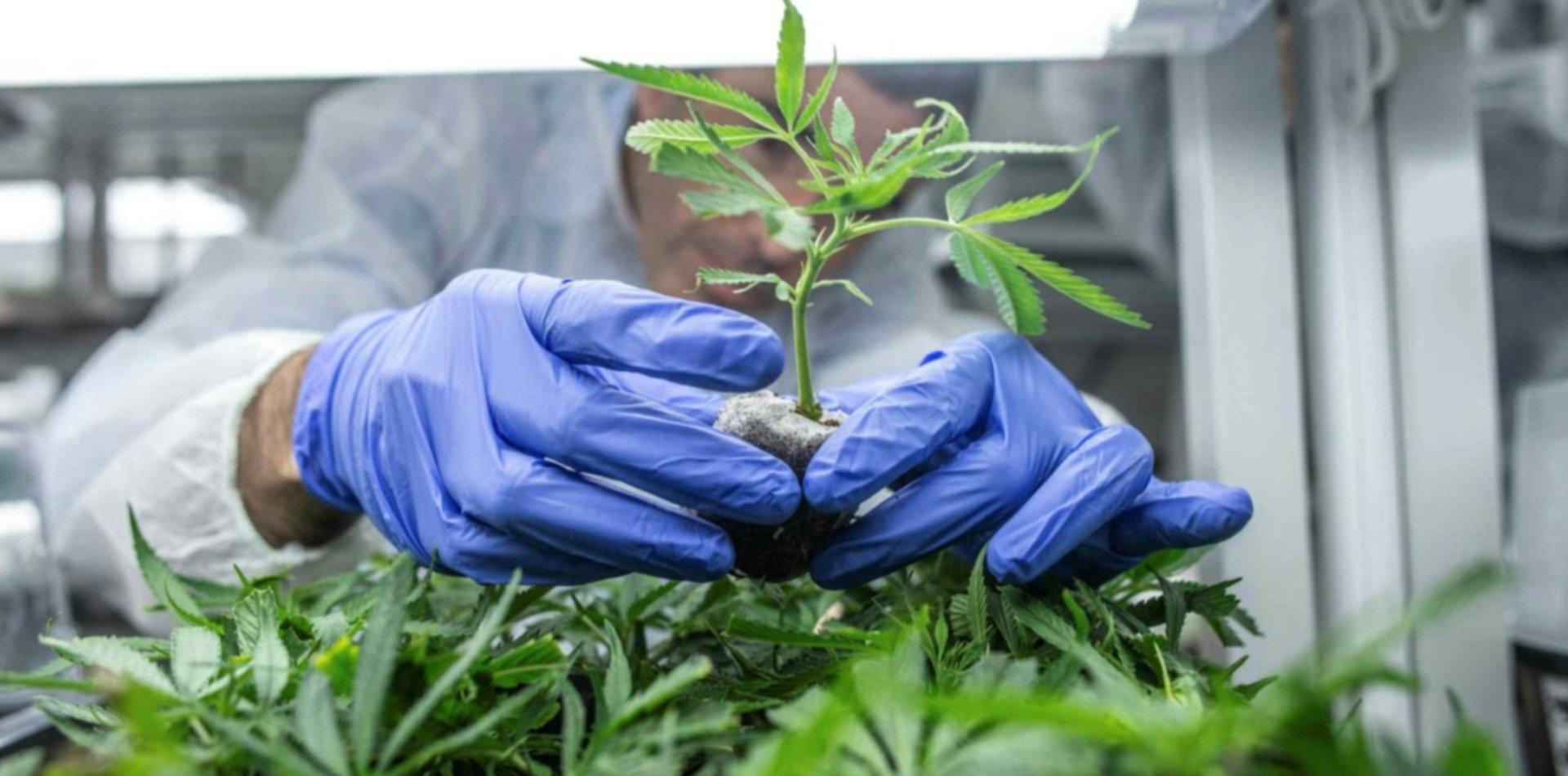Permitirán el autocultivo de cannabis medicinal y la venta de aceites en las farmacias