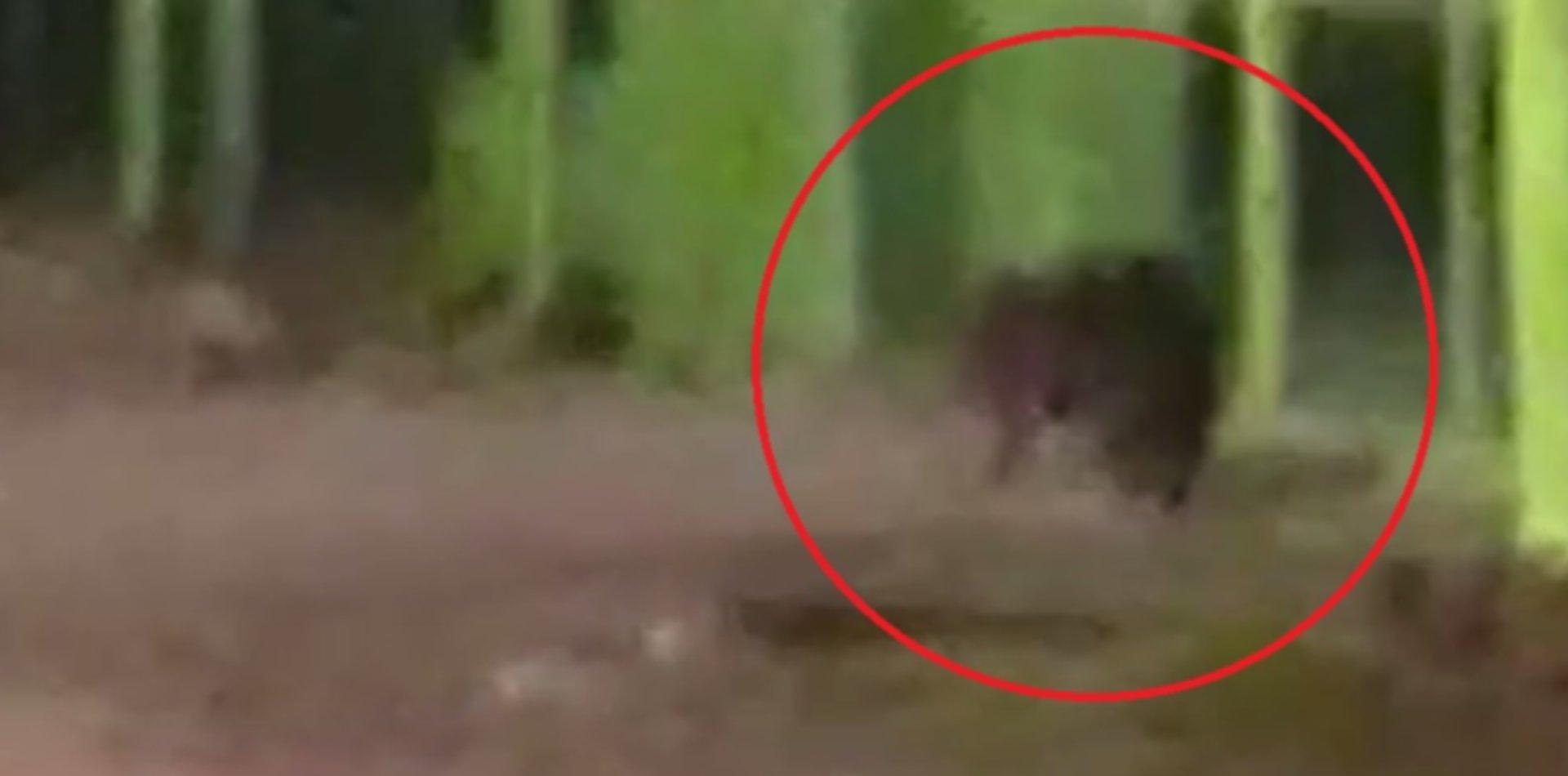 VIDEO: Un carpincho apareció en un barrio de La Plata y un vecino lo filmó