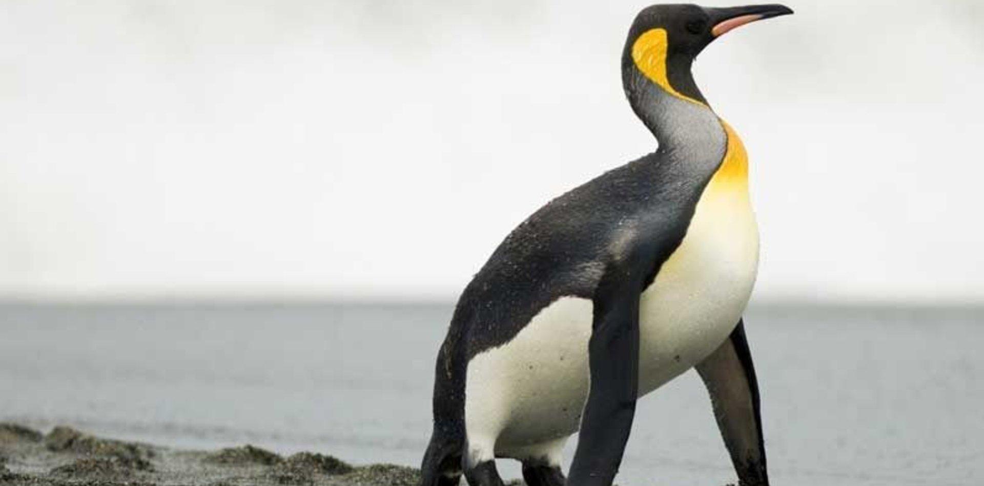 Con ayuda platense, hallaron los restos de un pingüino gigante del tamaño de una persona